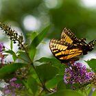 Butterfly on Flowers by Dan Lauf