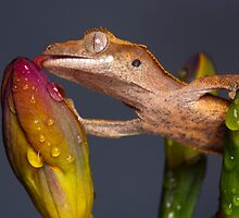 Drinking Crested gecko by AngiNelson