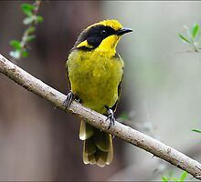 Helmeted Honeyeater taken Yellingbo - View 2 by Alwyn Simple