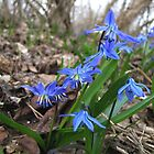 Siberian squill by Irina777