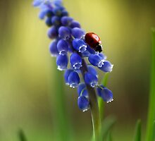 Muscari lady by Mandy Disher