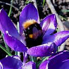 BUMBLE BEE IN CROCUS by gothgirl