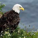 Bald Eagle on the cliffs by michelsoucy