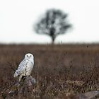 Snowy Owl in a field by michelsoucy