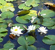 Water Lilies by James Brotherton