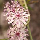 Astrantia triple by kalaryder