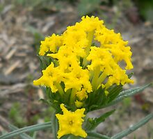 Fringed Puccoon Closer-up  by Navigator