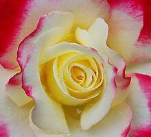 Rose Macro by YingDude
