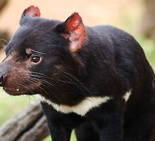 Tasmanian Devil by Eve Parry