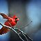 Cardinal Ready for Lift-Off by Bonnie T.  Barry