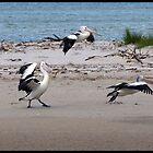 Pelicans Abroad by Tyler Cochrane