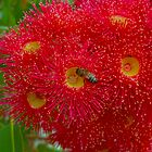 Eucalyptus Flowers with Bee by Geoffrey Higges