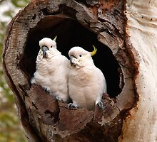 Sulphur Crested Cockatoos by smylie
