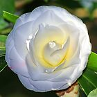 White Camellia by Ross Campbell