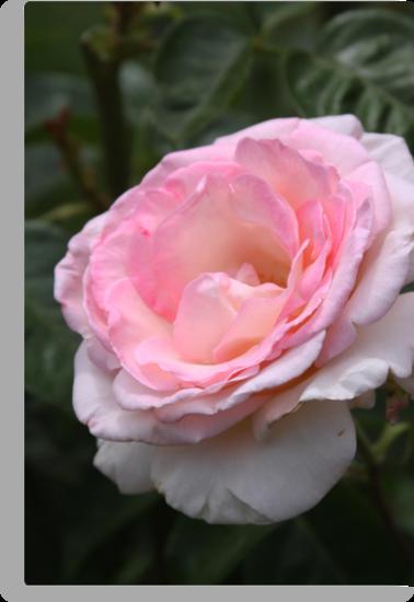 Pink Promise Hybrid Tea Rose by Robert Armendariz