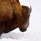 Bison 8 by Miles Glynn