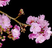 Cherry Blossom 6 by barnabychambers