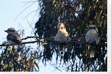 Three wise kookaburras by saltbushbill