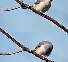 Lunch Time For the Titmouse by barnsis