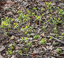 Eranthis (Winter aconite) by karina5