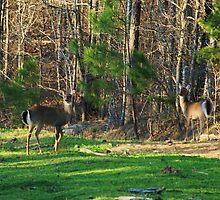 Alert Deer by Ginger  Barritt