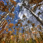Aspen Grove by greg1701