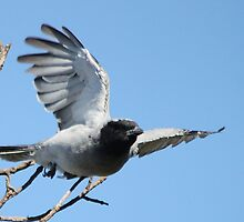 Black-faced Cuckoo Shrike by EnviroKey