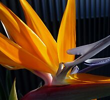Magestic Stralizia Flower by Angela Gannicott