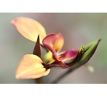 Flowers - Donkey Orchid Photographic Print