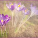 Sunlit Crocus by Patsy Smiles