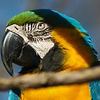 Blue Parrot by Guatemwc