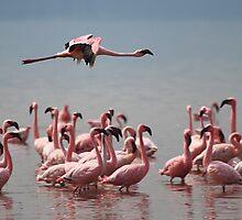 Lone Flyer, Lake Nakuru, Kenya by Carole-Anne