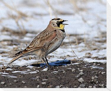 Horned Lark Close-up by Bill McMullen