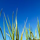 Blades of Grass against a clear blue summer sky by John Gaffen