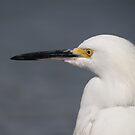 White Heron - Portrait - Garza Blanca - Retrato by Bernhard Matejka