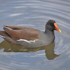 Common Moorhen by Kathy Baccari