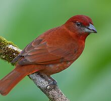 Male Hepatic Tanager - Arenal Observatory Lodge, Costa Rica by Stephen Stephen