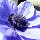 Blue anemone by Ana Belaj