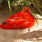 Scarlett Ibis by BGSPhoto