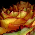 Side View of BiColored Rose by Pamela O'Pecko