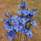 Thelymitra crinita by Eve Parry