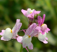 Easter Bunnies! Morroccan Toadflax - ESCAPEE! by Navigator