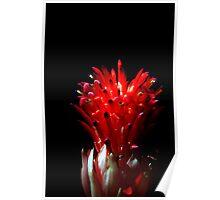 Bromeliad in Bloom Poster