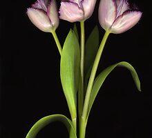 Purple Fringe by Barbara Wyeth