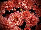 Rich Red Chrysanthemums by MotherNature
