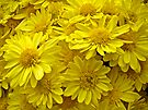 Sunshine Yellow Chrysanthemums by MotherNature