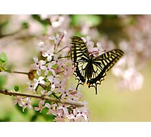 Swallowtail Butterfly with lilac Photographic Print
