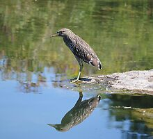 Juvenile night heron  by NewfieKeith
