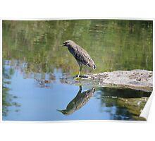 Juvenile night heron  Poster
