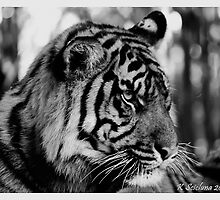 B/w tiger portrait 2 by bluetaipan